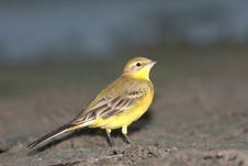 Yellow Wagtail / Motacilla Flava Stock Photo