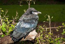 Free Rook (Corvus Frugilegus) Stock Photo - 18482020