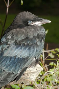 Free Rook (Corvus Frugilegus) Stock Image - 18482021
