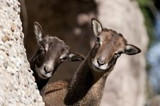 Free Atlas Mouflon, Female Royalty Free Stock Image - 18482536