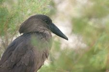 The Hamerkop Stork (Scopus Umbretta) Royalty Free Stock Photography