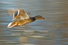Free Flying Duck (Anas Platyrhynchos) Royalty Free Stock Photography - 18483147