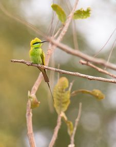 Free A Little Green Bee-eater At It´s Place Royalty Free Stock Image - 18483396