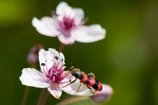 Free Flowering Rush (Butomus Umbellatus) Stock Images - 18483884