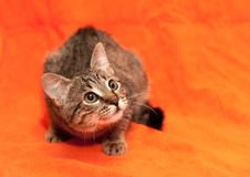 Free Tabby Cat On Orange Background Royalty Free Stock Images - 18483949