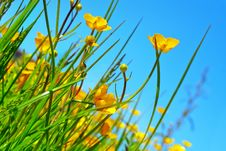 Free Buttercup Flowers On A Field Royalty Free Stock Images - 18484019