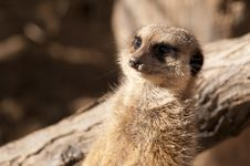 Free Suricate Or Meerkat Or Mongoose Stock Photography - 18484022