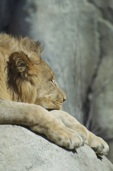 Free Sleeping Lion Royalty Free Stock Photo - 18484765