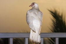 Free White Dove At Sunset On Rail Royalty Free Stock Image - 18485966