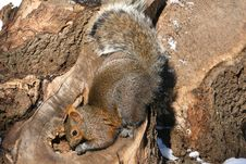 Free Grey Squirrel Stock Photo - 18486430