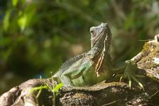 Free Iguana Royalty Free Stock Images - 18488129