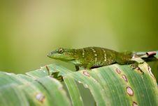 Free Lizard Royalty Free Stock Photo - 18488145