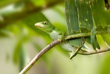Free Lizard Royalty Free Stock Photos - 18488158
