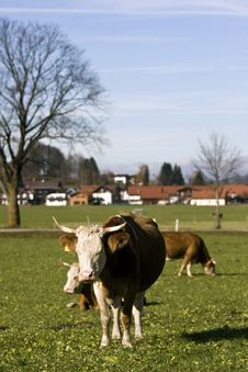 Free Happy German Cows On Green Grass Stock Photos - 18488433