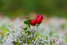 Free Cow-berry In Lichen Royalty Free Stock Image - 18489546