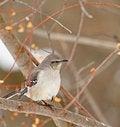 Free Northern Mockingbird, Mimus Polyglottos Stock Photo - 18492670