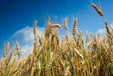 Free Growth  Wheat Stock Image - 18490941