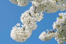 Free Cherry Blossom Royalty Free Stock Images - 18491909