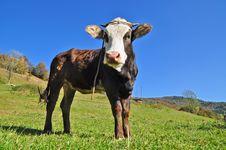 Free Calf Stock Photos - 18492133