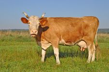 Free Cow On A Summer Pasture Stock Photos - 18492383