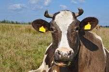 Free Cow On A Summer Pasture Stock Photos - 18492423