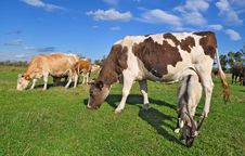 Free Cows On A Summer Pasture Stock Images - 18492494