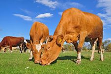 Free Cows On A Summer Pasture Stock Photography - 18492522