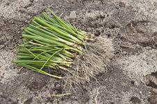 Free Garlic French (Allium Porrum) Royalty Free Stock Images - 18492649