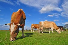Free Cows On A Summer Pasture Royalty Free Stock Image - 18492666