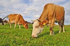 Free Cows On A Summer Pasture Royalty Free Stock Photos - 18492718