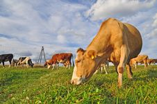 Free Cows On A Summer Pasture Stock Photos - 18492773