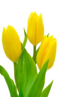 Free Yellow Tulips Stock Images - 18492804