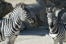 Free Two Zebras Stock Photos - 18492823