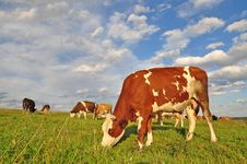 Free Cows On A Summer Pasture Stock Photo - 18492850