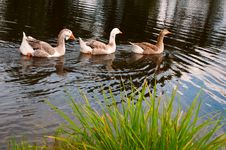 Free Three Gooses Royalty Free Stock Photo - 18492915