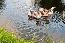 Free Three Gooses Stock Photos - 18492923
