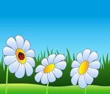 Three Daisies And Ladybug Royalty Free Stock Image