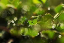 Free Dew Drops On Clover Leaves Royalty Free Stock Photography - 18493427