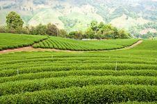 Free Green Tea Plantation Royalty Free Stock Photos - 18498438