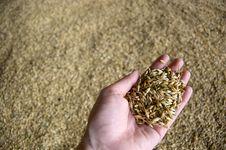 Free Barley Stock Image - 18499361