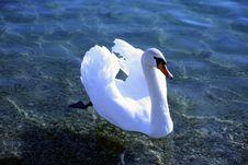 Free Swan Royalty Free Stock Image - 1851486