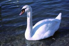 Free Swan Stock Photography - 1851492