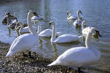 Free Swans Royalty Free Stock Photos - 1851498