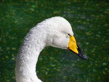 Free White Swan Royalty Free Stock Photo - 1853435