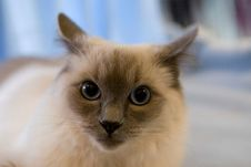 Free Ragdoll Cat Royalty Free Stock Photography - 1853597