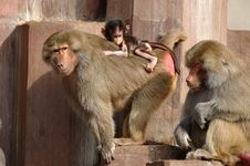 Monky Family Royalty Free Stock Image