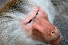 Free Monkey Face Royalty Free Stock Photo - 1854315