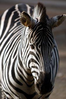 Free Zebra Royalty Free Stock Image - 1854466