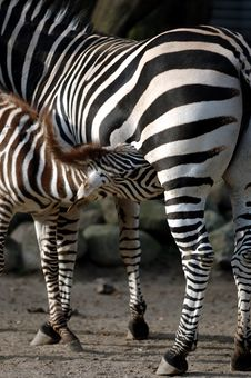Free Zebra Feeding Stock Photo - 1854480