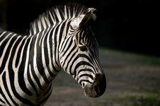 Free Zebra Royalty Free Stock Image - 1854486